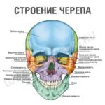 Анатомия: кости черепа