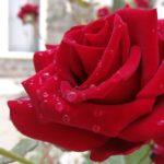 Сила розы