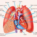 Лекции по анатомии. Сердце